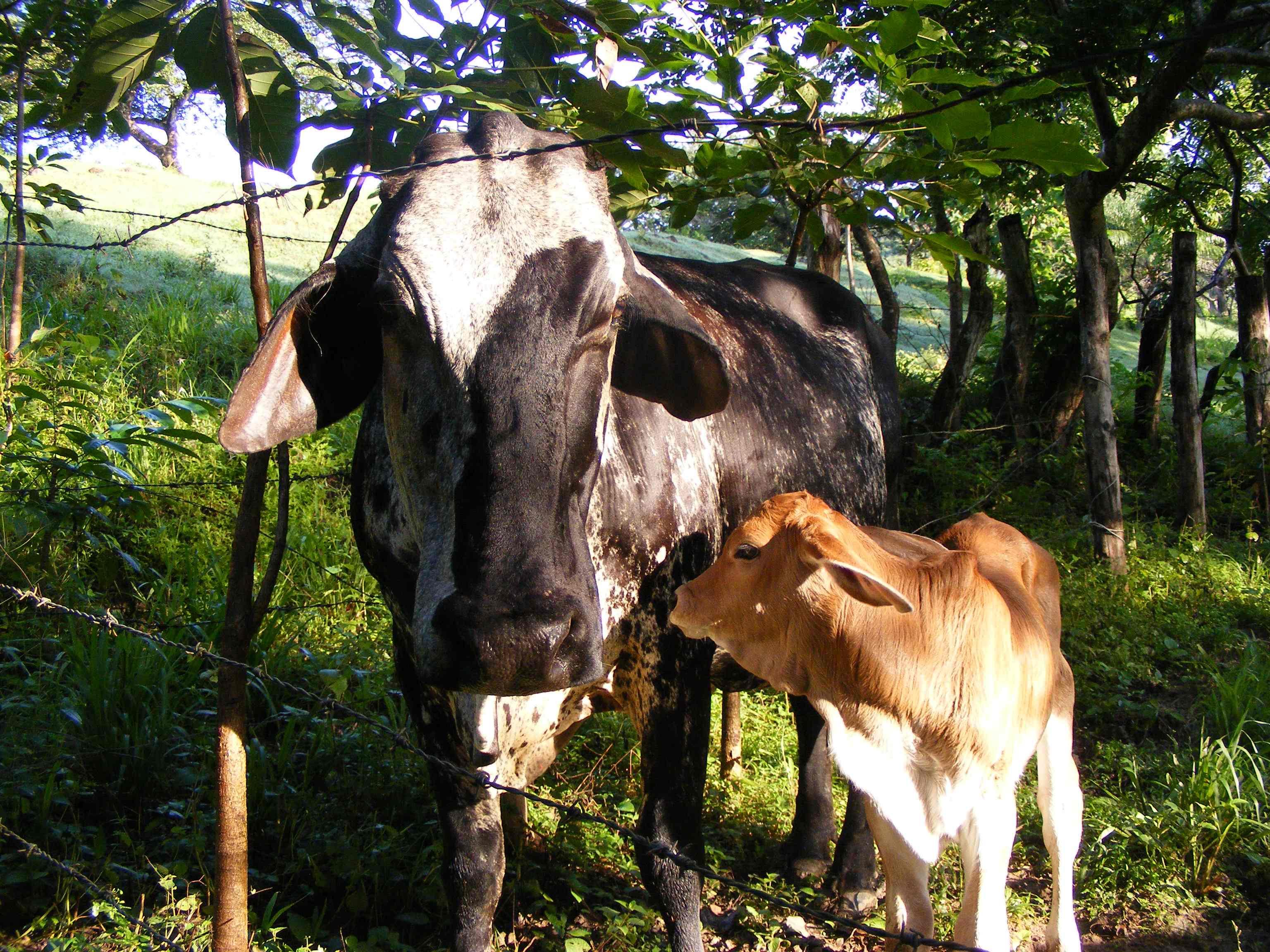 Cows - vacas