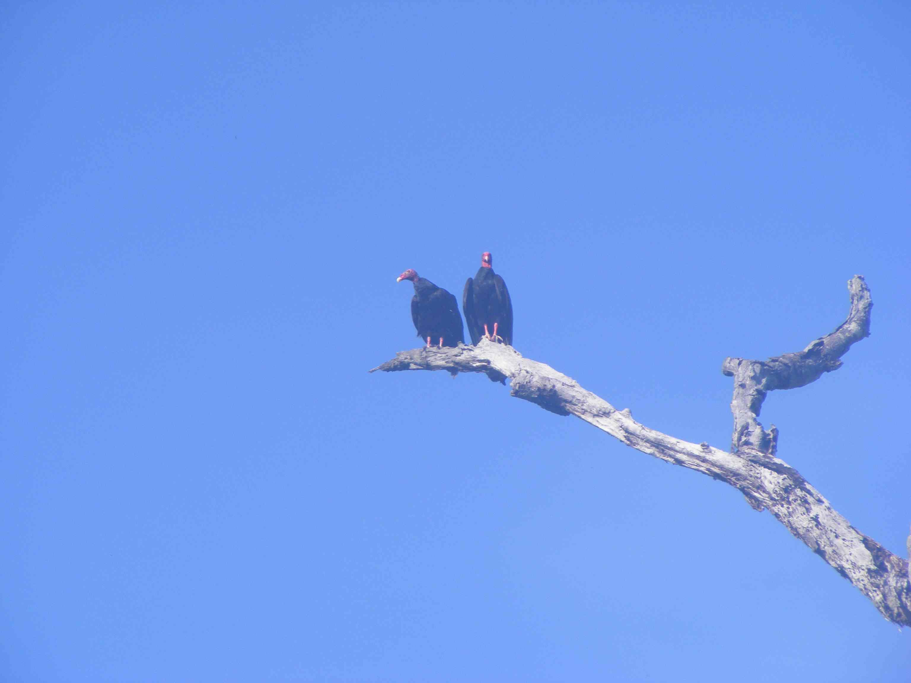 Vultures on the tree